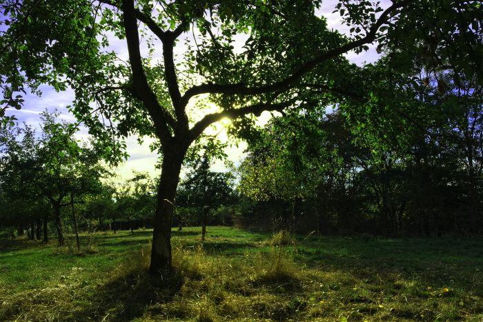 Apfelbäume auf einer Streuobstwiese
